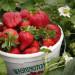 truskawki-zbior-pojemni