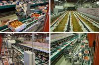 Dam prace w Anglii przy sortowaniu warzyw na linii produkcyjnej bez języka Birmingham