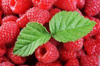 Wakacyjne oferty pracy w Anglii przy zbiorach owoców malin od czerwca 2014 Oxford
