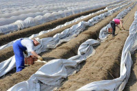 Anglia praca sezonowa dla grup przy zbiorach szparagów bez języka w Swaffham