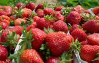 Oferta sezonowej pracy w Anglii zbiory truskawek bez języka od zaraz