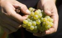 Anglia praca sezonowa od zaraz zbiory winogron bez języka Luton 2014