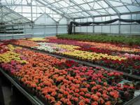 Anglia praca sezonowa w ogrodnictwie przy kwiatach bez języka Hereford