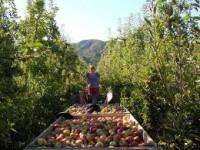 Sezonowa praca Anglia bez języka w rolnictwie przy zbiorach owoców