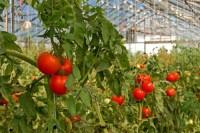 Sezonowa praca w Anglii przy zbiorach warzyw w szklarni od zaraz Bradford
