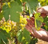 Dam pracę w Anglii przy zbiorach winogron deserowych od zaraz Lancaster