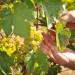winogrona-deserowe