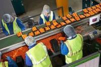 Praca Anglia bez znajomości języka na produkcji, pakowanie warzyw Londyn