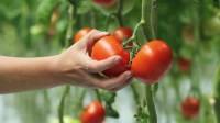 Sezonowa praca Anglia bez języka od kwetnia 2016 zbiory pomidorów Brandon