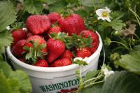 Sezonowa praca w Anglii przy zbiorach owoców od czerwca wakacje 2015 Kent