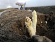 Oferta sezonowej pracy w Anglii przy zbiorach szparagów dla par i grup