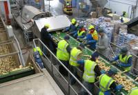 Oferta pracy w Anglii przy pakowaniu i sortowaniu warzyw Hertfordshire