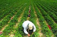 Anglia praca sezonowa bez znajomości języka przy zbiorach owoców UK