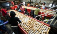 Dam pracę w Anglii – pakowalnia ziemniaków od zaraz Ormskirk