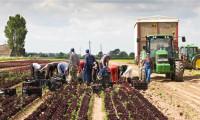 Dam sezonową pracę w Anglii w rolnictwie przy zbiorach Skelmersdale
