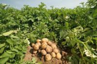Sezonowa praca Anglia przy zbiorach ziemniaków bez języka Swaffham
