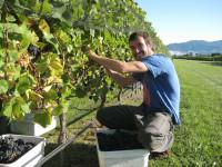 Anglia praca sezonowa w Alfriston przy zbiorach winogron, wrzesień 2015