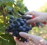 Dam sezonową pracę w Anglii dla Polaków przy zbiorach winogron Alfriston