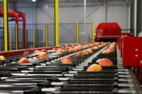 Anglia praca w Kent przy pakowaniu owoców z podstawową znajomością języka