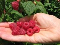 Oferta pracy w Anglii przy zbiorach owoców bez znajomości języka 2016