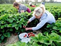 Sezonowa praca Anglia od zaraz przy zbiorach truskawek w Lichfield jako Team Leader