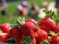 Dam sezonową pracę w Anglii przy zbiorach truskawek i malin w Peterborough