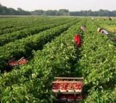 Sezonowa praca Anglia bez znajomości języka od zaraz zbiory owoców i warzyw