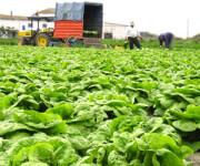 Od zaraz sezonowa praca Anglia bez znajomości języka zbiory warzyw Rainford