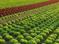 Od zaraz sezonowa praca w Anglii przy zbiorach warzyw na farmie Wyberton