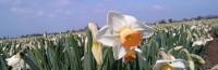 Zbiory kwiatów – żonkili sezonowa praca Anglia styczeń 2017, Kornwalia