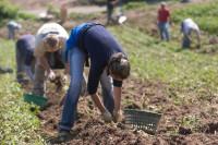Sezonowa praca w Anglii przy zbiorach warzyw od zaraz dla Polaków w Chippenham