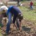 potato pickers,Jersey,Channel Islands
