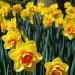 zonkile-kwiaty