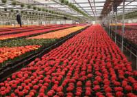 Sezonowa praca w Anglii od stycznia 2017 w szklarni przy kwiatach Exeter
