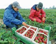 Anglia praca sezonowa zbiory truskawek bez języka 2017 Canterbury