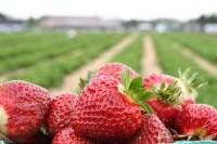 Sezonowa praca Anglia przy zbiorach truskawek bez języka Ledbury UK