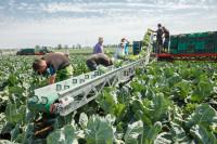 Boston, Anglia praca sezonowa na polu od zaraz przy zbiorach warzyw (kapusta, kalafior, brokuły)