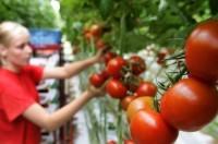 Sezonowa praca Anglia bez języka przy zbiorach warzyw Rainford 2017