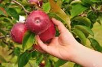 Od zaraz sezonowa praca w Anglii Ipswich zbiory truskawki, malin, jabłek, gruszek