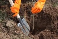 Oferta sezonowej pracy w Anglii dla kobiet przy drzewkach Canterbury UK