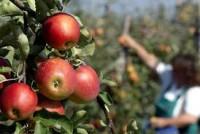 Dam sezonową pracę w Anglii przy zbiorach jabłek w sadzie 2017
