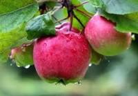 Od zaraz oferta sezonowej pracy w Anglii przy zbiorach jabłek sierpień 2017 Wisbech UK