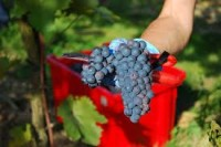 Oferta sezonowej pracy w Anglii przy zbiorze winogron od zaraz Lichfield UK 2017