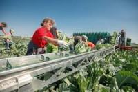 Anglia praca sezonowa na polu przy warzywach i ich pakowaniu Boston UK