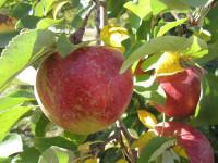 Ogłoszenie sezonowej pracy w Anglii przy zbiorach jabłek bez języka 2017 Kent UK