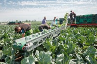 Oferta sezonowej pracy w Anglii od zaraz przy zbiorach warzyw polowych Southampton