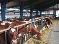 Rolnictwo sezonowa praca w Anglii na farmie mlecznej, Nantwich UK