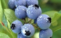 Anglia praca sezonowa od czerwca 2018 przy zbiorach owoców – borówki, malin i truskawek