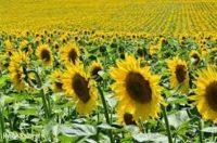 Oferta pracy w Anglii od lipca 2018 przy zbiorze, ścinaniu kwiatów (Gladiole, Słoneczniki) w Lincolnshire