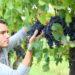 zbiory-winogron-praca-sezonowa-uk